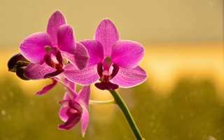 Чем отличается фаленопсис от орхидеи: таблица сравнения + ботаническая иерархия