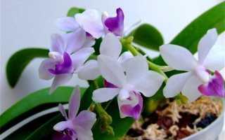 Орхидея Сапфир: фото, описание, секреты ухода за фаленопсисом Tzu Chiang Sapphire