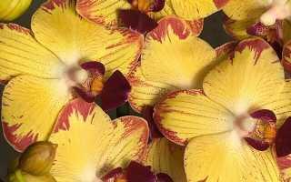 Яркая орхидея Попугай: фото, описание и все тонкости ухода