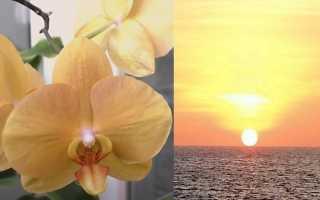 Все про орхидею с тройным названием: Африканский Закат, Карина или Лоттери Принц