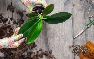 Как пересаживать фаленопсис: сроки, технология и правила пересадки орхидеи