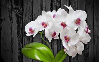 Белые орхидеи: фото, описание популярных видов и сортов, нюансы ухода