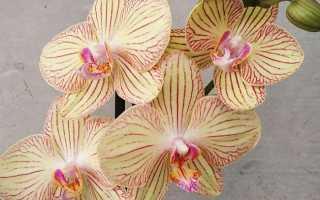 Орхидея Торино с венозным узором: особенности сорта и нормы содержания