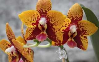 Орхидея Анаконда: фото, описание сорта Zheng Min Anaconda, уход + посадка детки из Тайваня