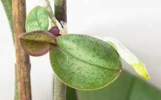Как у орхидеи взять отросток и пересадить: подробный инструктаж цветоводу