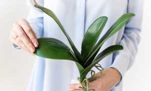 Как вырастить орхидею из листа в домашних условиях: можно ли это реализовать + альтернативные методы