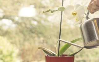 Как правильно поливать фаленопсис в домашних условиях — инструктаж цветоводу