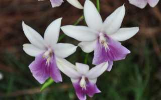 Очаровательная орхидея Мильтония: обзор видов и правила ухода в домашних условиях