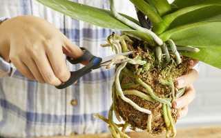 Можно ли у орхидеи обрезать корни при пересадке: правила и подробный инструктаж