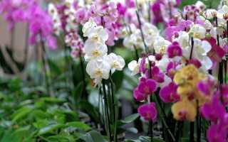 Почему не цветет орхидея фаленопсис и как стимулировать пышное цветение