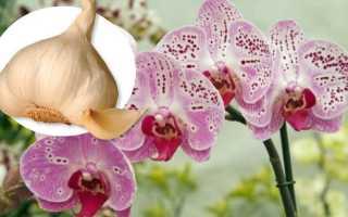 Подкормка чесноком орхидей: польза, применение, рецепты чесночных настоек