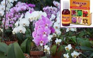 Обработка орхидей Максимом: лечение и применение препарата для профилактики