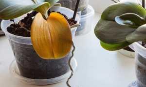 Орхидея засохла или начала сохнуть? Мы подскажем, как реанимировать и спасти цветок
