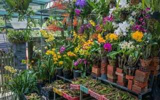 Орхидеи из Вьетнама: как выбрать, посадить луковицу и вырастить дома + фото