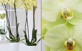 Орхидея Яра Брайт: фото, описание, уход за фаленопсисом Yara Bright + отзывы цветоводов