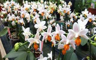 Орхидея Мини Марк: весенняя свежесть и приятный аромат