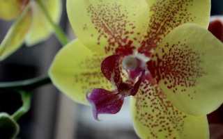 Орхидея Пульсация: фото, описание, уход за фаленопсисом Pulsation + похожие сорта