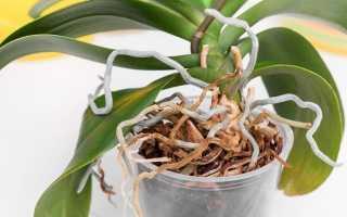 Как омолодить орхидею в домашних условиях: пошаговое фото, правила омоложения фаленопсиса