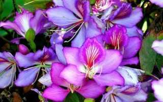 Баухиния орхидейное дерево: фото, описание разных видов + тактика ухода