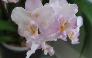 Орхидея Сакура: фото, описание, подвиды, выращивание фаленопсиса дома