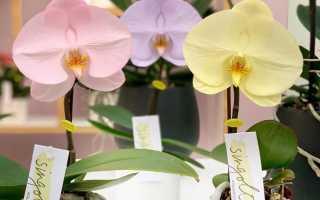 Орхидея Синголо: фото, описание фаленопсиса Singolo, чек-лист по уходу и посадке