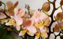 Орхидея Парфюмерная Фабрика: обзор разных видов, описание и фото сортов
