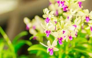 Как заставить дендробиум цвести в домашних условиях: правила ухода и стимуляция цветения