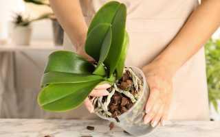 Как и когда лучше пересадить орхидею после покупки: правила, сроки, инструктаж