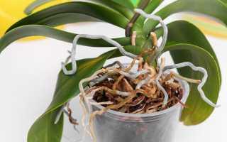 Можно ли обрезать у орхидеи воздушные корни