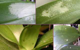 Белые пятна на листьях орхидеи: причины и способы лечения