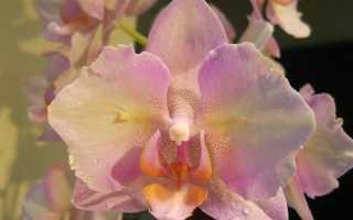 Орхидея Легато: фото, описание, чек-лист по уходу и выращиванию