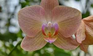 Строение орхидеи: цветка, корней, стебля + ботанический разбор со схемами и фото