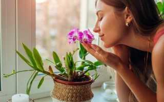 Как ухаживать за дендробиум: все о выращивании орхидеи в домашних условиях