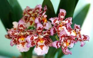 Орхидея камбрия: уход в домашних условиях и секреты пышного цветения