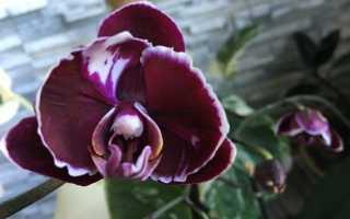 Орхидея Каменная Роза: фото, описание, особенности ухода