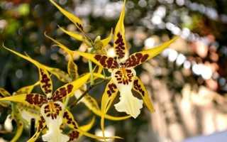 Орхидея Брассия: фото, описание, сорта, уход, пересадка, размножение в домашних условиях