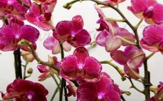 Орхидея Интрига: фото, описание фаленопсиса Голландская и Азиатская интрига + уход