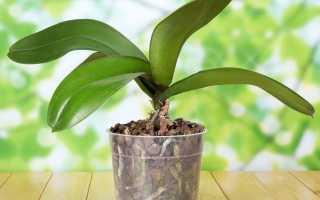 Что делать когда отцвела орхидея фаленопсис — подробный инструктаж