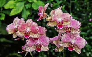 Орхидея Пират Пикоти: фото, описание сорта фаленопсиса Pirate Picotee, уход и отзывы