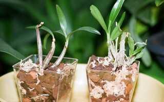 Как размножить дендробиум детками, черенками и делением куста