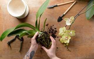 Пересадка цветущей орхидеи: оценка рисков, подробный инструктаж, адаптация