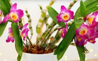 Дендробиум: уход в домашних условиях после цветения + правила пересадки