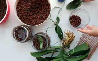 Орхидеи в керамзите: за и против, правила посадки и условия содержания