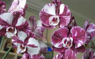 Фото, описание и особенности сорта орхидеи Шоколад + специфика ухода и отзывы