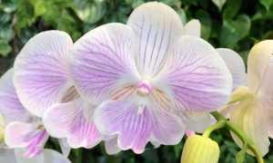 Орхидея Биг Лип: фото, описание сортов, уход за фаленопсисами Big Lip