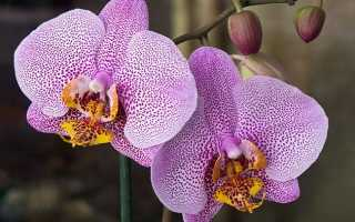 Любимица цветоводов — орхидея Манхэттен. Все об особенностях сорта и нормах ухода