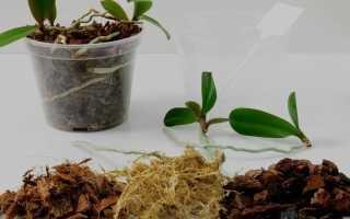 Как размножается фаленопсис в домашних условиях: проверенные способы и вероятные ошибки