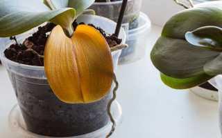 Почему желтеют листья у орхидеи и что делать — поиск причины и восстановление