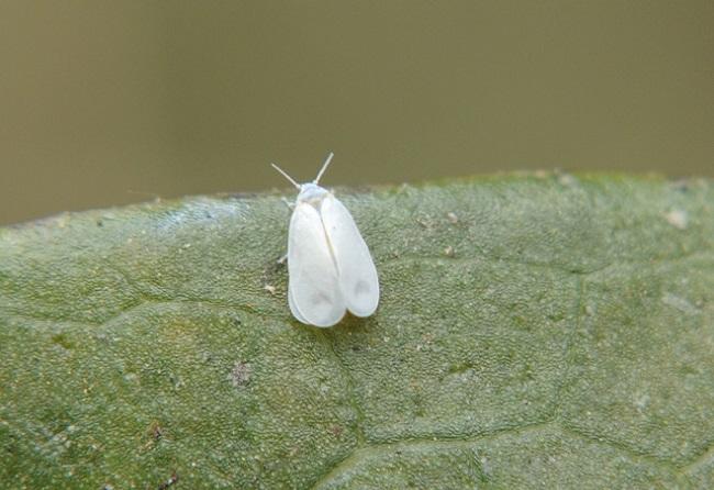 Белокрылка на цветке