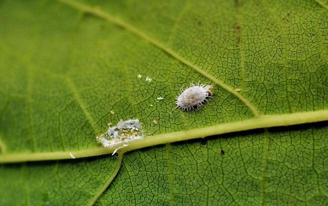 Личинки червеца